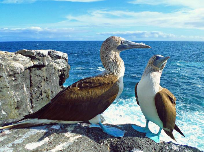 2-blue-footed-boobies